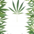 Framework from leaves of a hemp — Stock Photo