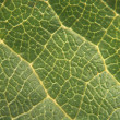 Detailed green leaf — Stock Photo