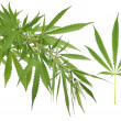 Hemp (cannabis) — Stock Photo