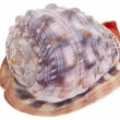 Sea Shell Isolated on White — Stock Photo #3982133