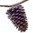 Foto Stock: Pine Cone and Branch