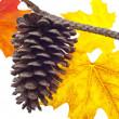 Kiefer Kone und Herbstblätter — Stockfoto