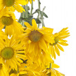 Yellow Daisy Background - Stock Photo