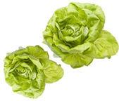 Hydroponic Bibb Lettuce — Stock Photo