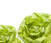 Hydroponic Bibb Lettuce Border — Stock Photo