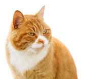 Portrait of red insolent cat — Stock Photo