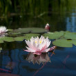 Water lily floating on pond — Stock Photo