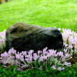 Blooming crocuses around stone — Stock Photo