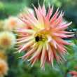 Blooming peach dahlia with insect — Stock Photo