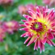Blooming red and yellow dahlia — Stock Photo