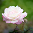 Blooming light pink rose on green — Stock Photo