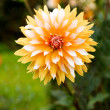 Orange and white dahlia — Stock Photo
