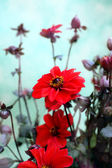 Blooming bright red dahlias — Stock Photo