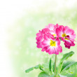 Floral Border with primula — Stock Photo