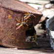 Foto Stock: Wasps and tin