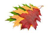 Three autumnal maple leaves — Stock Photo