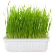 Green wheat sprouts — Stock Photo