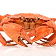 Red crab on white — Stock Photo