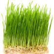 Young wheat sprouts - Stock Photo