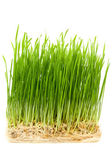 Young wheat sprouts — Stock Photo
