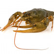 Big alive crayfish — Stock Photo