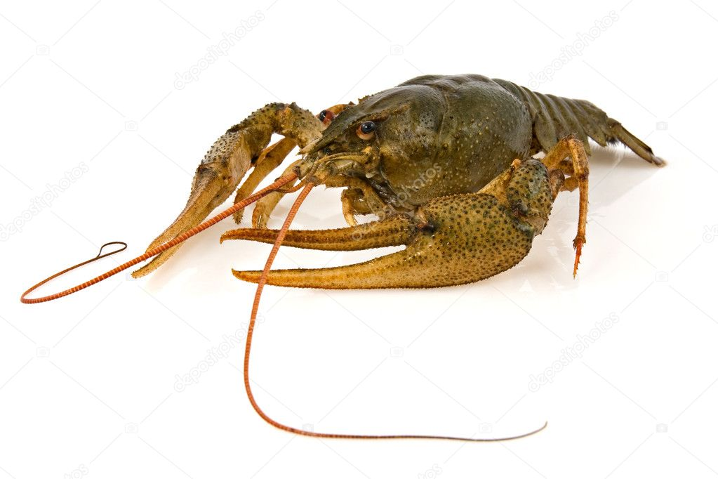 Big alive crayfish on a white background  Stock Photo #5340188