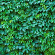 Stock Photo: Wall of leaves of wild grapes
