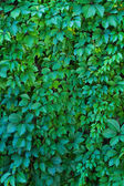 Wall of leaves of wild grapes — Stock Photo