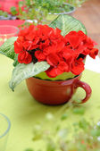 Bouquet of geranium with green leaves — Stock Photo