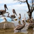 Pelican Sanctuary - Stock Photo