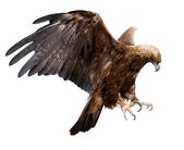 Golden eagle, isolated — Stock Photo