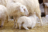 Sheep feeds its lamb — Stock Photo