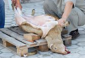 Sheep slaughter — Stock Photo