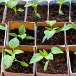 Bell pepper seedlings — Stock Photo #5228779