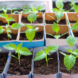 Bell pepper seedlings — Stock Photo
