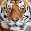 Tigers face — Foto Stock