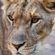 Close-up of Lioness - Photo