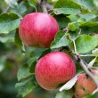 Apple Orchard Branch With Fruits - Stock Photo