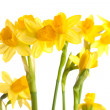 Narcissus isolated on a white background - Stock Photo