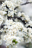 Blooming tree in spring with white flowers — Stock Photo
