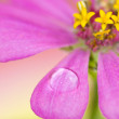 Close-up petals of pink flower with water drop, macro - Stock Photo