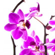 Orchid isolated on white background — Stock Photo #3951021