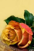 Rosa amarela com gotas de água — Foto Stock