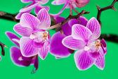 Orchidée rose sur fond vert — Photo