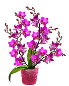 Orchid in a pot isolated — Stock Photo