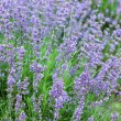 Field with many flowers of lavender — Stock Photo