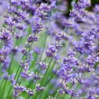 Stockfoto: Field with many flowers of lavender