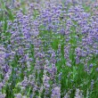 Field with many flowers of lavender — 图库照片