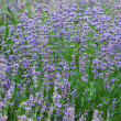 Stok fotoğraf: Field with many flowers of lavender