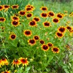 Beautiful yellow flowers on field — Stock Photo